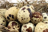 picture of quail egg  - Big pile of quail eggs on the background of hay - JPG