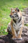pic of tiger cub  - young amur tiger cub portrait in the zoo - JPG