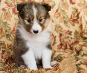 picture of sheltie  - Sheltie puppy on a varicolored background - JPG