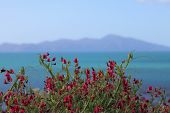 stock photo of sweet pea  - Kapiti Island in background behind wild growing sweet pea flowers - JPG