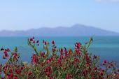 stock photo of sweetpea  - Kapiti Island in background behind wild growing sweet pea flowers - JPG