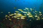 picture of school fish  - School yellow Bigeye Snapper fish on coral reef underwater - JPG