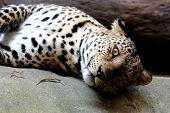 pic of panther  - Leopard Panther Panthera pardus wildlife mammal Big Cat - JPG