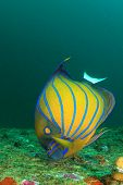 stock photo of angelfish  - Blue - JPG