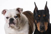 image of doberman pinscher  - two dogs  - JPG