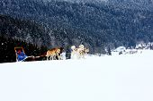 picture of sled  - Group of sled dogs running through lonely winter landscape - JPG