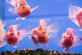 stock photo of freshwater fish  - Photo of aquarium fish parrot cichlid in freshwater
