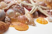stock photo of cockle shell  - nice shells - JPG