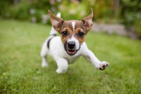 stock photo of animal eyes  - A playful puppy dog running around in the garden while looking straight into the lens - JPG