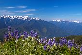 picture of olympic mountains  - Hurricane Ridge Olympic National Park Washington USA - JPG