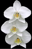 stock photo of flower arrangement  - 3 white orchids in a vertical arrangement isolated on black - JPG