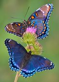 Redspotted Purple Butterflies