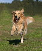 picture of happy dog  - running purebreed golden retriever - JPG