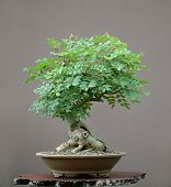 European Ash Bonsai In Summer