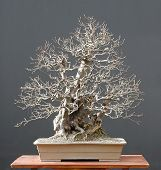 Chinese Quince Bonsai, Winter Silhouette