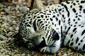 stock photo of panthera uncia  - lying and sleeping Snow Leopard Irbis  - JPG