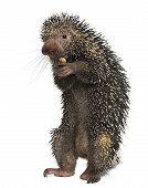 Постер, плакат: Бразильский дикобраза Coendou Prehensilis есть арахис перед белый фон