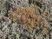 Common Glasswort, Salicornia europaea, on the Salt marsh in autumn