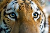 Close-Up Of A Tiger