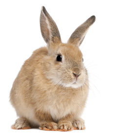 picture of bunny rabbit  - Bunny rabbit in front of white background - JPG