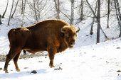 foto of aurochs  - Big wild bison in the winter forest - JPG