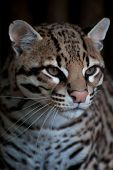 picture of ocelot  - Profile of an Ocelot  - JPG