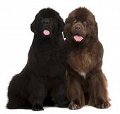 Newfoundland puppies, 5 and 30 months old, sitting in front of white background
