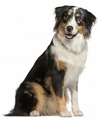 picture of border collie  - Border Collie - JPG