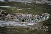 American Crocodile swimming