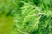 Southernwood (artemisia Abrotanum) Close-up