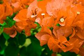 Beautiful Bougainvillea Glabra Chois Orange Flower