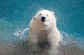 Shaking Polar Bear In Water 2