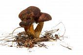 Polish Mushroom
