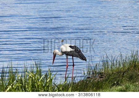 poster of White Stork Is Hunting On The River Bank