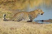 Leopard At Waterhole