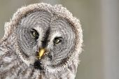 Great Grey Owl isolated portrait