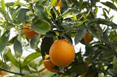 Orange Citrus Fruit Plantations On Peloponnese, Greece, New Harvest Of Sweet Juicy Oranges poster