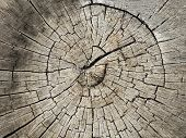 Close-up Of Rough Tree Cut Trunk. Stump Textured Background With Circular Annual Rings poster