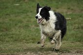 Herding Border Collie