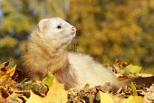 Ferret Play With Yellow Autumn Leaves