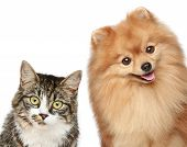 stock photo of pomeranian  - Cat and Spitz puppy on a white background - JPG