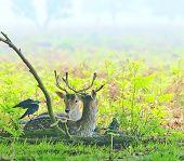 Relaxing Deer