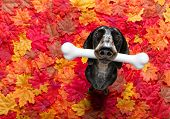 Hungry Sausage Dachshund Dog With A Big White Bone Waiting For Owner To Go For A Walk In Autumn Fall poster