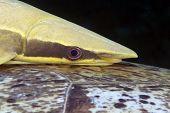 Close-up of a Sharksucker (echeneis naucrates).