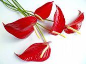 Red Anthurium