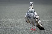 Rock Pigeon In The Street Looking For The Food.rock Pigeons Crowd Streets And Public Squares, Living poster