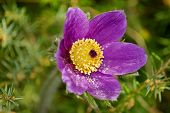 Easter Flower, Pulsatilla vulgaris