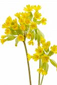 pic of cowslip  - Close-up of cowslips - isolated on white background