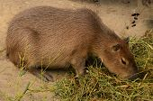 A Capybara, A Rodent Like Animal From South America Seen In An Enclosure In The Zoo In Copenhagen poster
