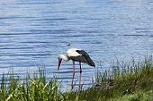 White Stork Is Hunting On The River Bank poster